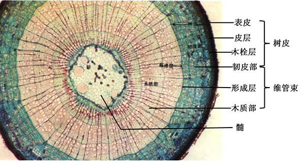 植物茎的结构
